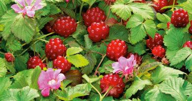 ягода княженика фото где растет описание