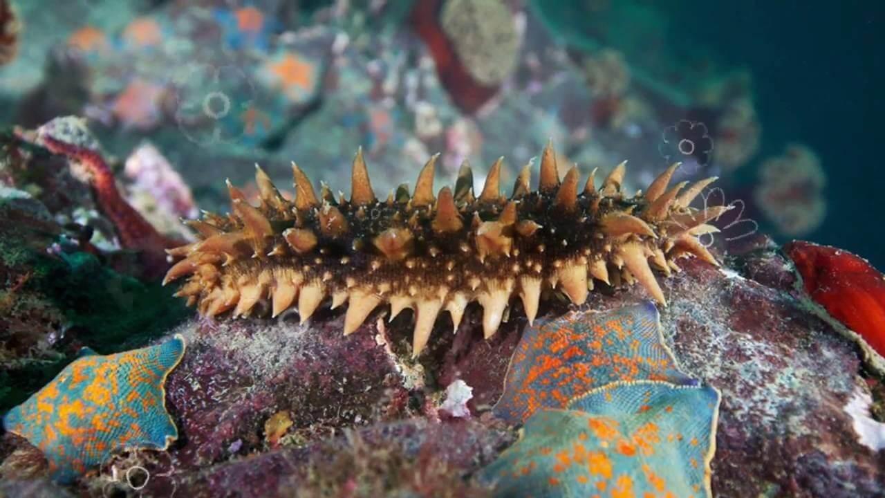 Фото трепанга в воде - морской огурец