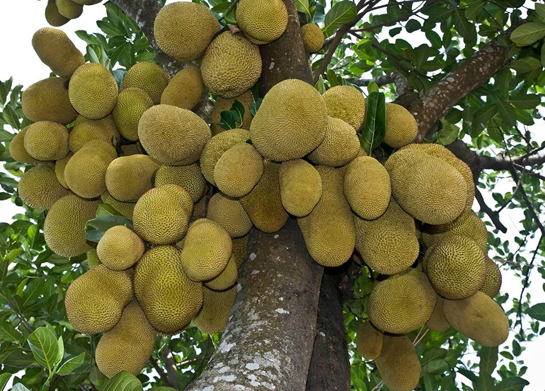 джекфут фото как растет на дереве